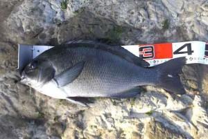 毘沙門の地磯で釣った44cmの口太メジナ